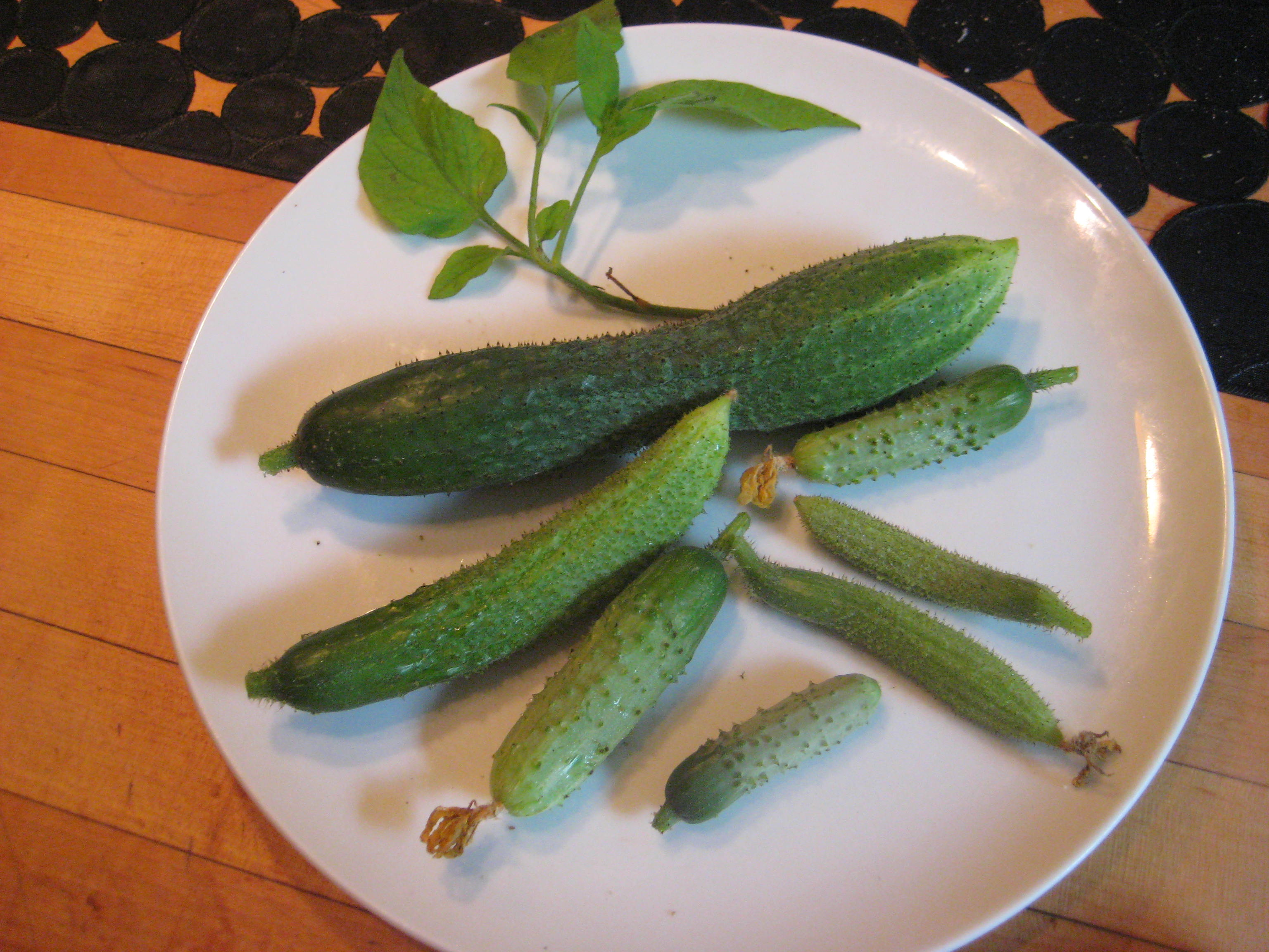 c french-pickling-cukes