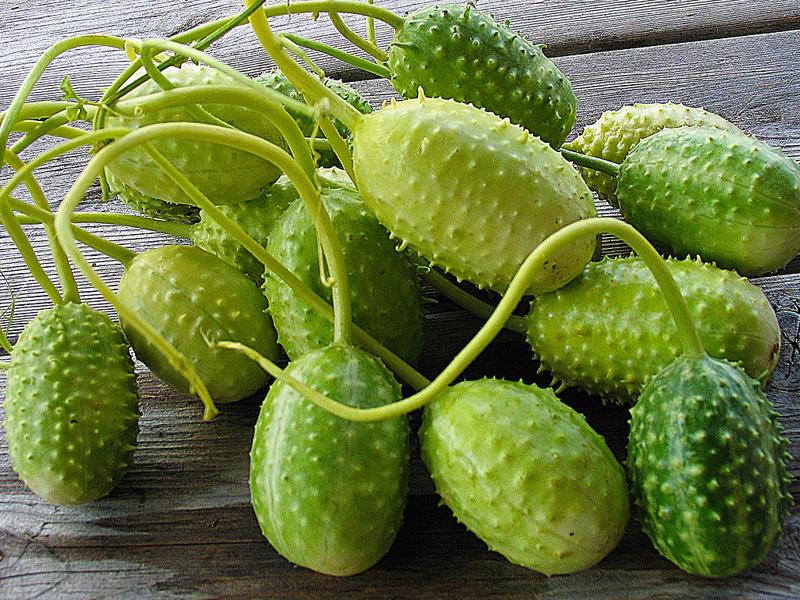 Cucumis-anguria-West-Indian-Burr-GherkinsZ